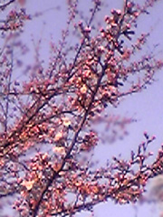 20070406sakura3jp
